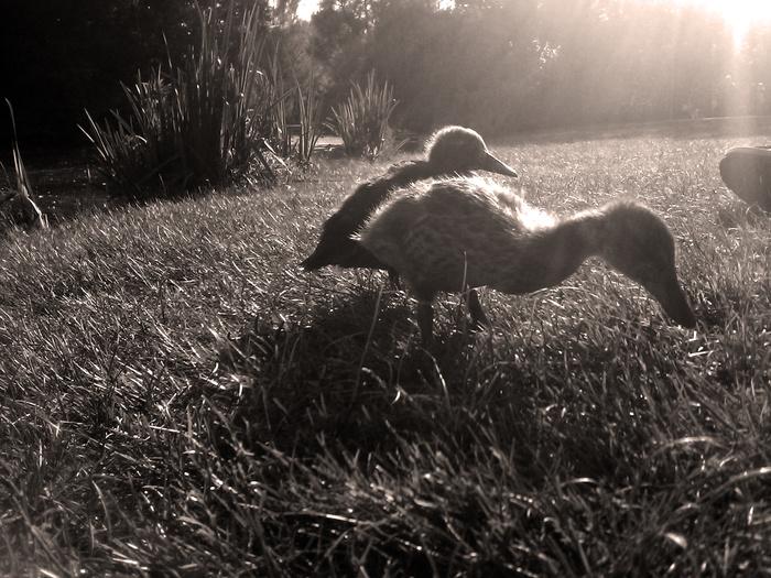 Do ducks eat grass as food?
